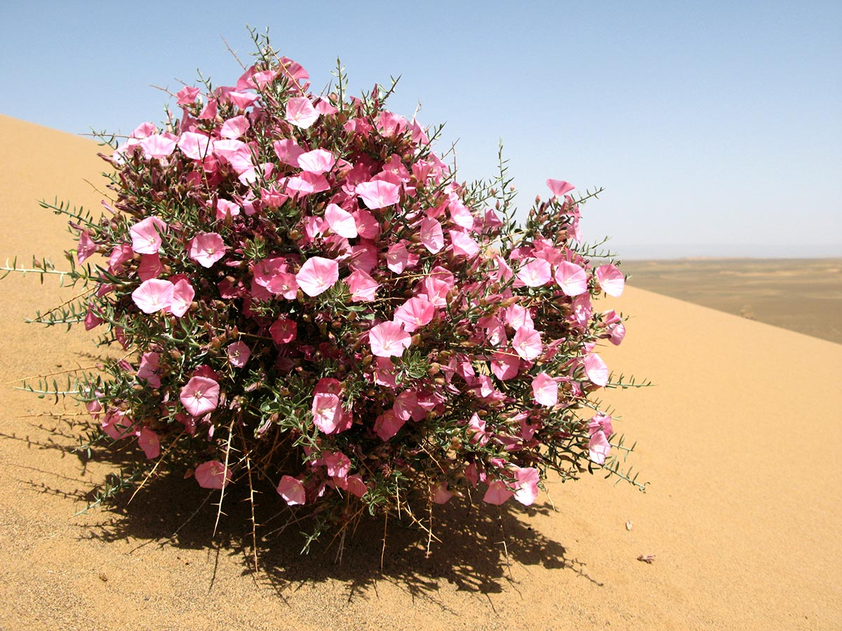 Цветок пустыни смотреть на русском 15 фотография